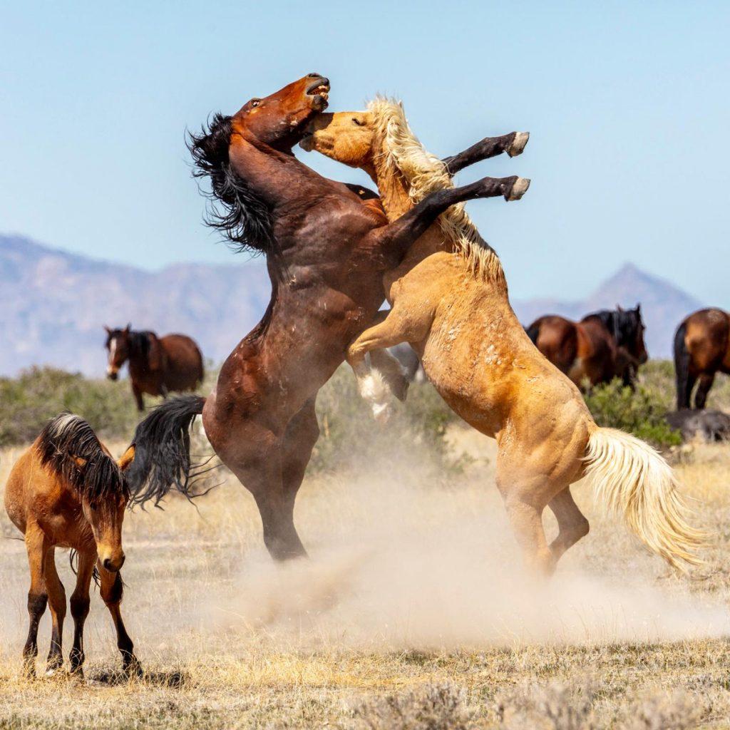 Fakta Mengenai Kuda Mustang