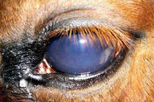 Infeksi dan Cedera Mata pada Kuda