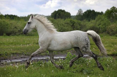 Ras Kuda Spanyol