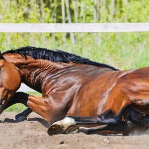 Sekilas Tentang Colic Pada Kuda