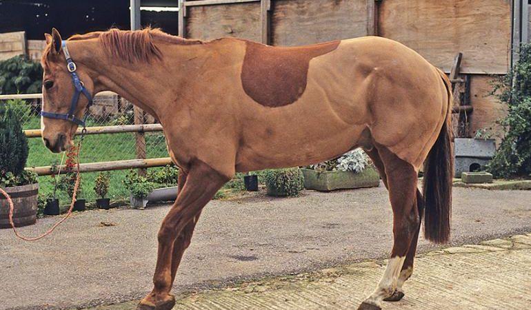 Penyebab Laminitis Pada Kuda